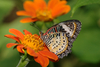 Leopard Lacewing - photo/picture definition - Leopard Lacewing word and phrase image