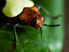 Chrysochroa Beetle - photo/picture definition - Chrysochroa Beetle word and phrase image