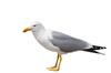 seagull - photo/picture definition - seagull word and phrase image