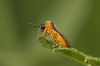turnip sawfly - photo/picture definition - turnip sawfly word and phrase image