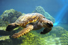 sea turtle - photo/picture definition - sea turtle word and phrase image