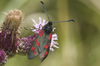 burnet moth - photo/picture definition - burnet moth word and phrase image