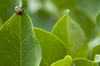 Japanese Beetle - photo/picture definition - Japanese Beetle word and phrase image