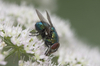 greenbottle fly - photo/picture definition - greenbottle fly word and phrase image