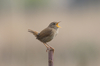 wren - photo/picture definition - wren word and phrase image