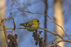 siskin - photo/picture definition - siskin word and phrase image