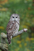 barred owl - photo/picture definition - barred owl word and phrase image