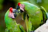 military macaws - photo/picture definition - military macaws word and phrase image
