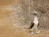 blue-footed booby - photo/picture definition - blue-footed booby word and phrase image
