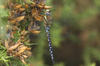 migrant hawker - photo/picture definition - migrant hawker word and phrase image