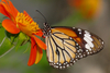 Common Tiger butterfly - photo/picture definition - Common Tiger butterfly word and phrase image