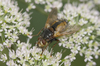tachina fera - photo/picture definition - tachina fera word and phrase image