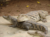 crocodiles - photo/picture definition - crocodiles word and phrase image