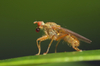 dung fly - photo/picture definition - dung fly word and phrase image