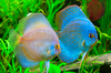 Discus fish - photo/picture definition - Discus fish word and phrase image