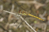 common darter - photo/picture definition - common darter word and phrase image