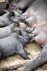 piglets feeding - photo/picture definition - piglets feeding word and phrase image