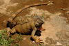 Costa Rican Iguana - photo/picture definition - Costa Rican Iguana word and phrase image