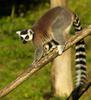 lemur - photo/picture definition - lemur word and phrase image