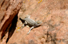 Arizona Earless Lizard - photo/picture definition - Arizona Earless Lizard word and phrase image