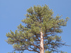 pine tree - photo/picture definition - pine tree word and phrase image