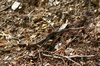 Garter Snake - photo/picture definition - Garter Snake word and phrase image