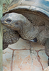 Aldabra Tortoise - photo/picture definition - Aldabra Tortoise word and phrase image