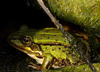 frog - photo/picture definition - frog word and phrase image
