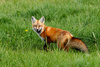 fox - photo/picture definition - fox word and phrase image