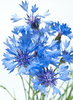 cornflowers - photo/picture definition - cornflowers word and phrase image