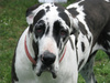 great dane harlequin - photo/picture definition - great dane harlequin word and phrase image