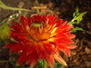 dahlia - photo/picture definition - dahlia word and phrase image