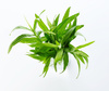 tarragon - photo/picture definition - tarragon word and phrase image