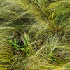 feather grass - photo/picture definition - feather grass word and phrase image