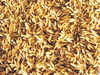 oat grains - photo/picture definition - oat grains word and phrase image