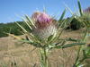 cotton thistle - photo/picture definition - cotton thistle word and phrase image