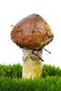 yellow boletus - photo/picture definition - yellow boletus word and phrase image