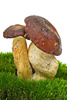 boletus badius - photo/picture definition - boletus badius word and phrase image