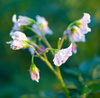 potato flowers - photo/picture definition - potato flowers word and phrase image