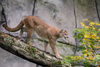 cougar - photo/picture definition - cougar word and phrase image