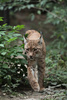 eurasian lynx - photo/picture definition - eurasian lynx word and phrase image