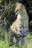serval - photo/picture definition - serval word and phrase image