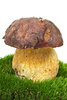 boletus edulis - photo/picture definition - boletus edulis word and phrase image
