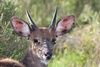 bushbuck - photo/picture definition - bushbuck word and phrase image
