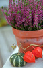 purple heather - photo/picture definition - purple heather word and phrase image