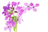 hesperis matronalis - photo/picture definition - hesperis matronalis word and phrase image