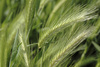barley - photo/picture definition - barley word and phrase image