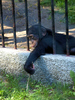 chimpanzee - photo/picture definition - chimpanzee word and phrase image