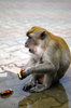 macaque - photo/picture definition - macaque word and phrase image