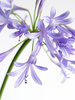 agapanthus - photo/picture definition - agapanthus word and phrase image